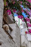 The island of Syros. A small dog located on the balcony of a traditional house on the island of Syros Royalty Free Stock Photography