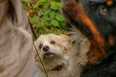 Small dog with a longing look. A portrait picture of the small dog with a longing look. He wants something good, that the owner eats stock photos