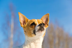 Small dog looking up. Small dog that looks beseechingly with a clear blue sky in the background Royalty Free Stock Photography