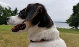 Dog looks at lake. A small dog looks with a lake in the background Royalty Free Stock Photography