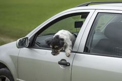 Small dog looks out of the car window - jack russell terrier. Small dog is sitting in a car and looking out of the car window - jack russell terrier 2 years old stock photo
