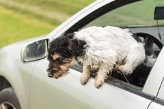 Small dog looks out of the car window - jack russell terrier 2 years old. Small dog is sitting in a car and looking out of the car window - jack russell terrier stock images