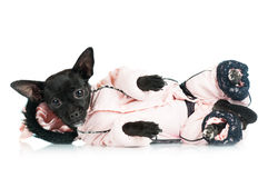 Small dog lying down in a costume Royalty Free Stock Photography