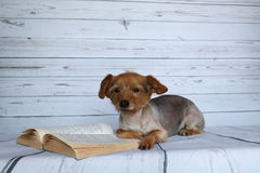 Small dog in a lying position busy reading a book. On a wooden background Stock Images