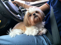 Small dog maltese sitting in the car Stock Photography