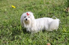 Small dog maltezer, in the autumn forest Stock Photography
