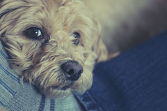 Small dog on mans legs royalty free stock images