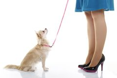 Small dog obedience. Small dog sits in front of owners legs Royalty Free Stock Photos