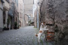 Small dog in the old town. A pet in the city. stock photography