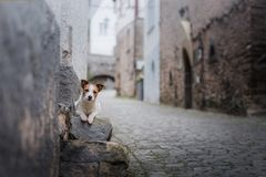Small dog in the old town. A pet in the city. stock photo