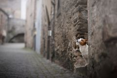 Small dog in the old town. A pet in the city. royalty free stock image