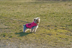 Small Dog Outdoors. Yorkshire Terrier or small dog in an outdoor scene, leashed with a harness pink jacket Royalty Free Stock Photo