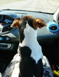 Small dog pet jack russell sitting in car. Small dog pet jack russell sits on the seat in the car and looks out the window stock image