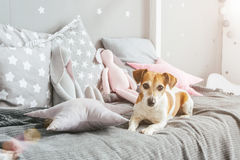 Small dog pet Jack Russell terrier lying on the bed Stock Image