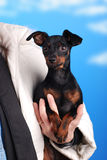Small dog pinscher Stock Photography