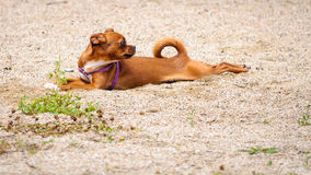 Chiwawa dog play sand Stock Images