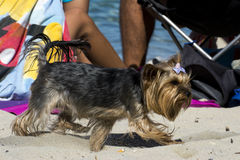Small dog playing  on beach. Small dog playing on the beach Royalty Free Stock Photography