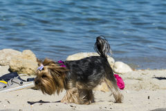 Small dog playing  on beach. Small dog playing on the beach Stock Photo