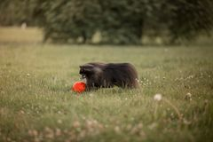 Small dog playing in a football in the park Royalty Free Stock Image