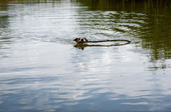 Small dog playing with huge stick in pond water Royalty Free Stock Photography