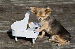 Small dog is playing on piano on sunny stage Stock Image