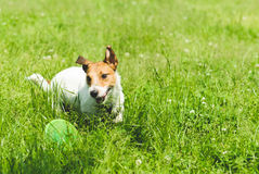 Small dog playing with plastic disk and smiling. Jack Russell Terrier playing at green green grass Royalty Free Stock Photography