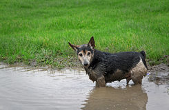 Small dog playing in water Royalty Free Stock Image