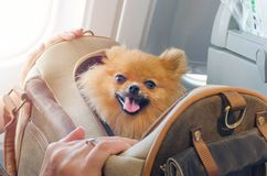 Small dog pomaranian spitz in a travel bag on board of plane, selective focus. Small dog pomaranian spitz in a travel bag on board of plane royalty free stock image