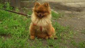 Small dog pomeranian spitz sitting on green grass. stock video footage