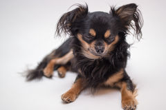 Small dog Stock Photos
