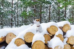 Small dog posing over a background with sawn round wooden logs in winter forest royalty free stock images