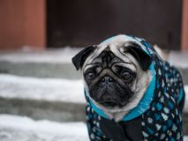 Small dog pug in jacket. Lovely dog. stock photography