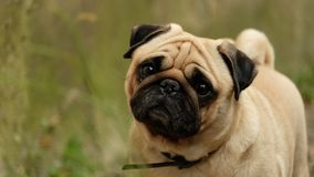 A small dog pug Konfuciy looking into the camera. stock photo