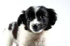 Small dog puppy. Royalty Free Stock Photo