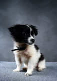 Small dog puppy. Royalty Free Stock Images