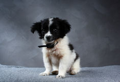 Small dog puppy. Royalty Free Stock Image