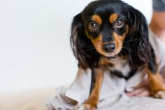 Small dog ready to have a bath. Small dog with puppy dog eyes looking apprehensive about going for a bath stock image