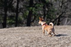 Small dog with red harness attentively observing surroundings. Small brown dog with red harness attentively observing surroundings on dry grass meadow. Animal royalty free stock images