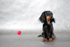 Small dog & red toy ball Royalty Free Stock Photo