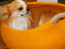 A small dog resting in a bright yellow handbag. Royalty Free Stock Photography
