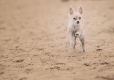 Small dog running at the beach Royalty Free Stock Images