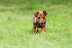 Small dog running on green lawn Royalty Free Stock Image