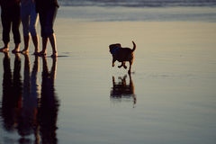 Free Small Dog Running On The Beach To The Group Of People Stock Image - 79832911