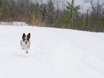 Small dog running in snow Royalty Free Stock Photography