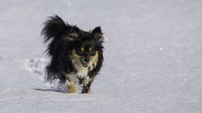 Small dog running in snow royalty free stock photos