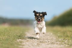 Free Small Dog Runs Down A Street In Front Of A Blurred Background. Jack Russell Terrier 2.5 Years Old Stock Photography - 148775962