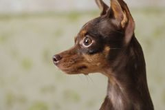 Small dog russian toy - terrier. Russian toy Terrier looks out the window Royalty Free Stock Photography