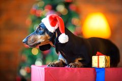 Small dog in a Santa Claus hat Stock Photos