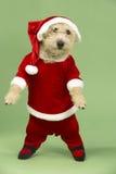 Small Dog In Santa Costume. Studio Portrait Of Small Dog In Santa Costume Stock Photo