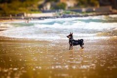 Small dog at sea. Fun for animals. Stock Photo